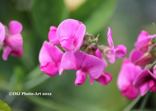 Exhibition Picture 12 - Sweet Pea